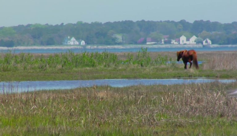 Looking to experience a place where wild horses roam free and you can camp beside wide, beautiful beaches? Assateague Island, a barrier island off the coast of Maryland and Virginia, is a natural oasis
