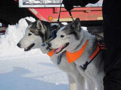 husky-dog-sledding-1-3292028