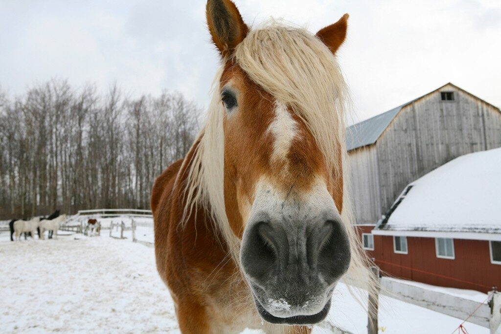 quebec-horse-snow-1024x683-5823127