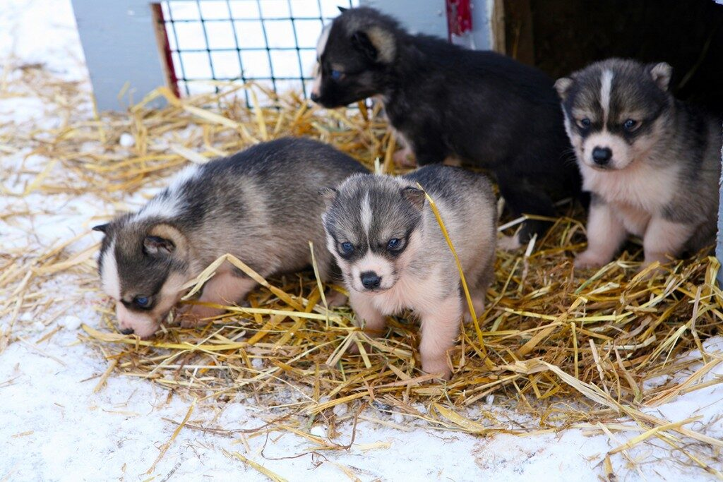 sled-dog-puppies-quebec-1024x683-8647907