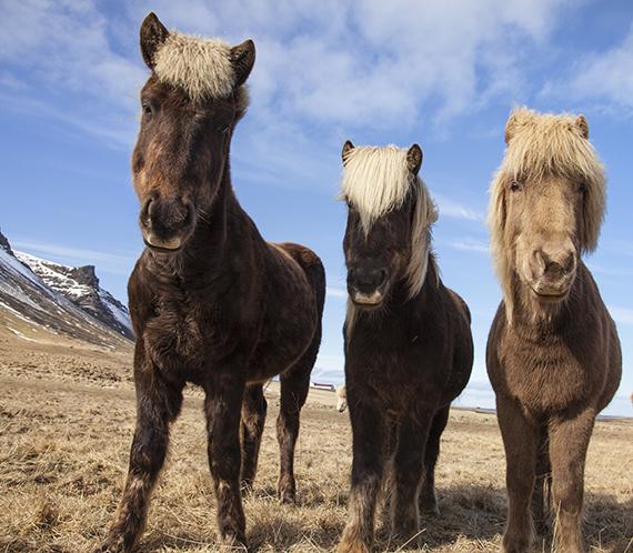 Icelandic Horses Cover Shot