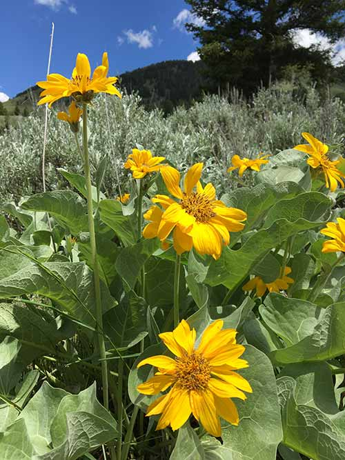 Yellow flowers in the Bridger Teton National Forest