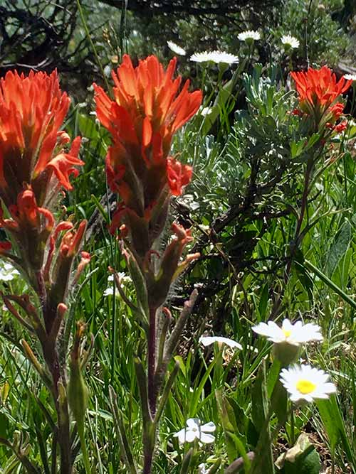 Indian paintbrush in the Medicine Bow Routt National Forest