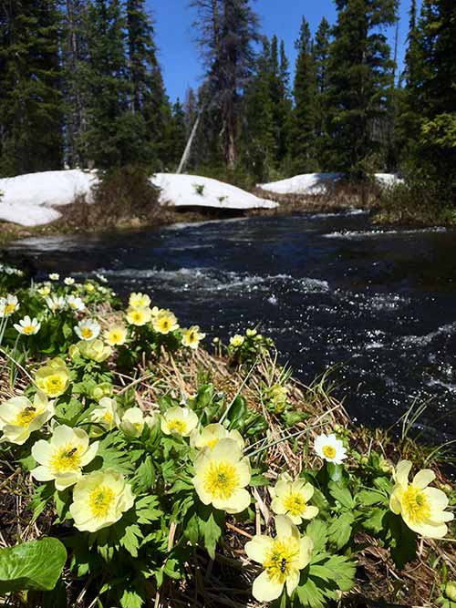 Wild flowers by a river along the Snowy Range Scenic Byway