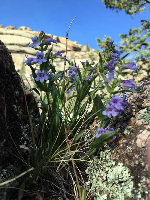 Purple flowers in the rocks at Vedauwoo