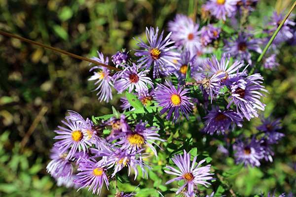 Flowers at Midewin National Tallgrass Prairie